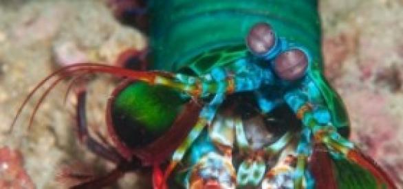 Imagen de la gamba mantis