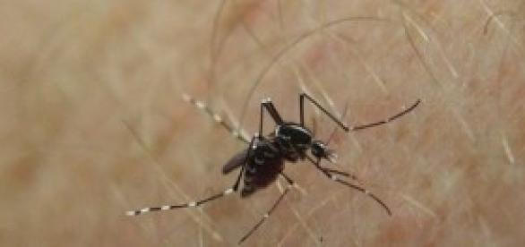 Aedes aegypti é o transmissor do vírus da dengue
