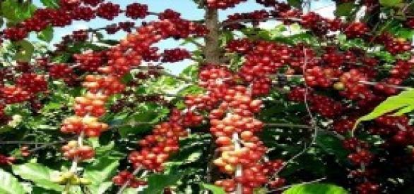 Foto: Café em Coco Fonte: Embrapa