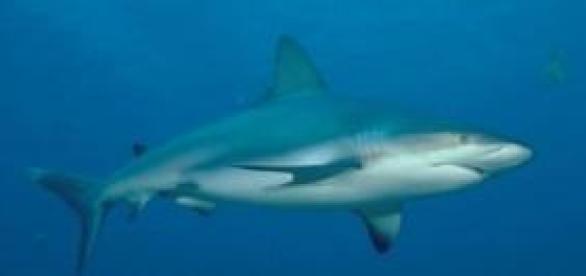 Foto de Tubarão Branco, podendo alcançar 6 metros
