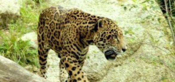 Yaguareté, especie en extinción