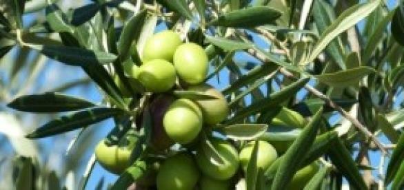Los olivares de Teruel podrían desaparecer.