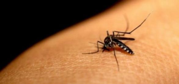 Mosquito del chikungunya (dengue hemorrágico)