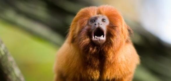 Curiosidades sobre o mico-leão-dourado