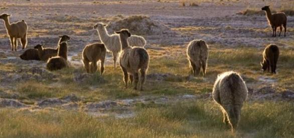 Cientistas apostam nos lamas para combater a Sida.