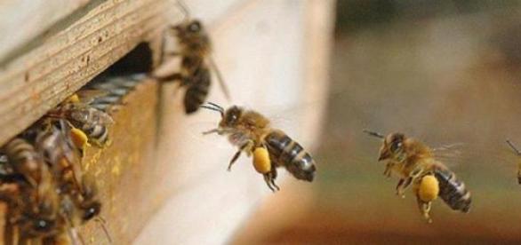 Beneficiile naturale ale polenului