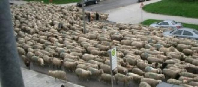 Lamb as a simbol of bulgarian election