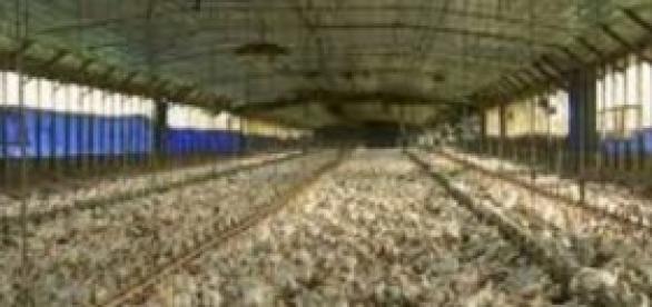 Una granja de pollos en pleno funcionamiento.