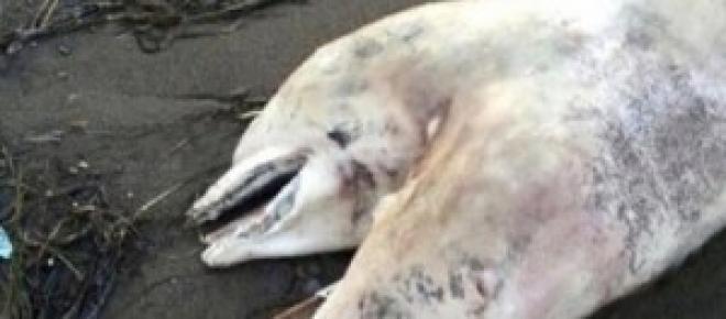 Né siamois, ce dauphin possédait deux têtes.