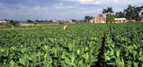 Plantacion de tabaco en Cuba