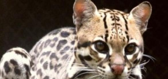 Leopardus pardalis semelhante ao L. guttulus
