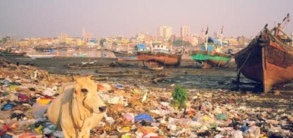 Cow in garbage. Bombay. Antoine Dessart.