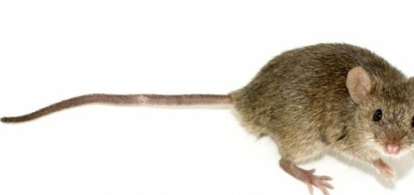 Ratón empleado en investigación