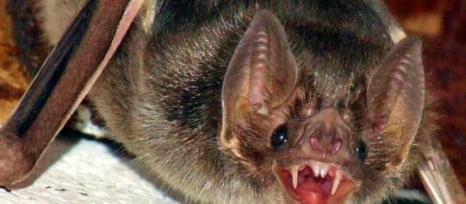 Animais curiosos: Morcego vampiro