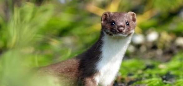 Cel mai mic animal carnivor din Romania