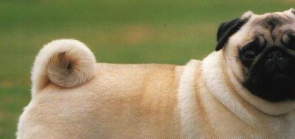 pug, animal de companie, bot