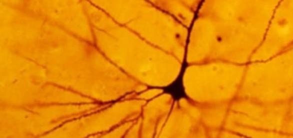 Es un importante hallazgo para la salud neuronal