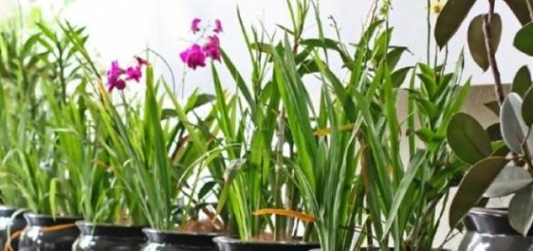 flori de apartament, oxigen