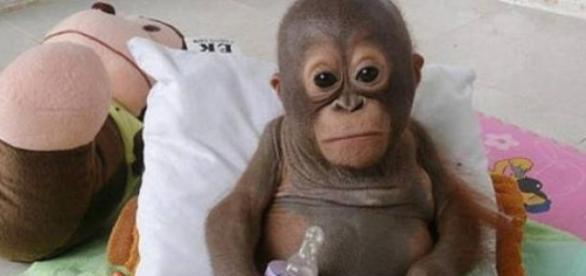 Budi,  o bebê orangotango
