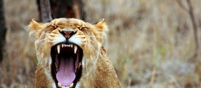 Conheça a história verídica e emocionante de amizade entre um homem e uma leoa.