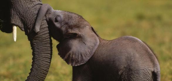 Elefante, el secreto de las terapias antitumorales