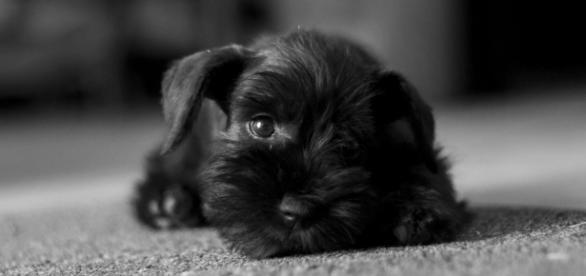 Czarny pies - wcielenie diabła (fot. Morguefile)