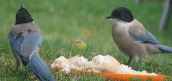 Rabilargos comiendo en mi jardín