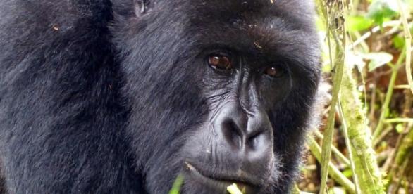 Rwanda gorilla. Image source Pixabay no attrition