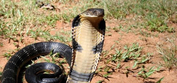 Cobra regală - temutul şi misticul şarpe oriental