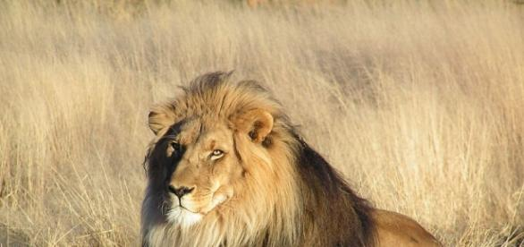 Le lion bientôt un animal en voie de disparition?