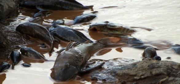 O Rio Doce está morrendo sem ar