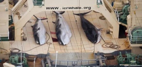 Apesar dos protestos, Japão insiste na caça.
