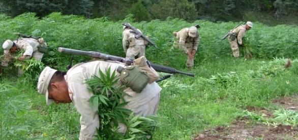 Ejercito de México erradica plantas de mariguana