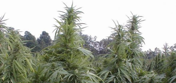 México es el segundo productor mundial de cannabis