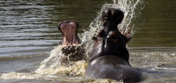 Bagarre (ou un jeu ?) d'hippopotames à Thoiry !