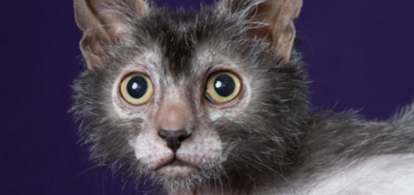 Lyoki, o novo felino que faz lembrar um lobisomem