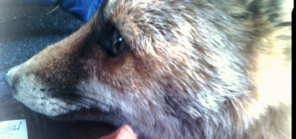 Switz zorrita asesinada en Moratalla