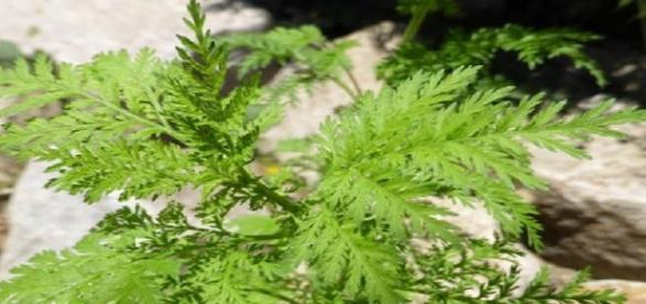 Planta combate todas as células cancerígienas