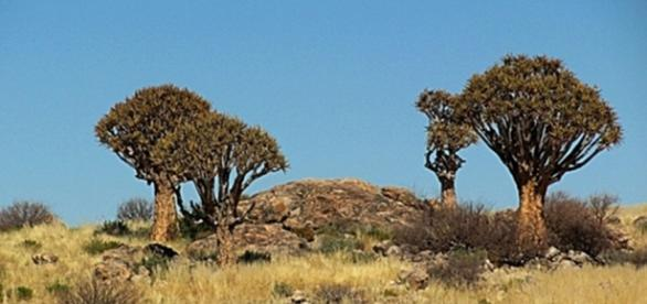 Quiver trees in Namibia. By J Flowers