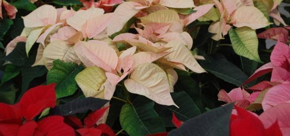 Las variadas tonalidades de la flor de nochebuena