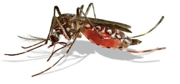 Mosquito transmite a dengue e o Zika vírus