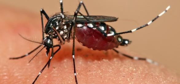 Imagem do mosquito Aedes Aegypti