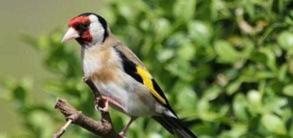 Pintassilgo, uma das aves mais bonitas de Portugal