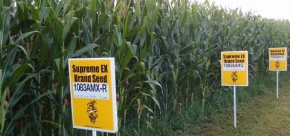 Uprawy kukurydzy genetycznie modyfikowanej