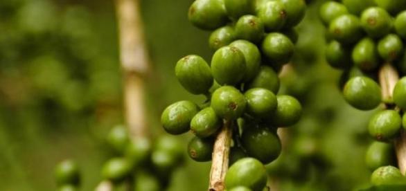Cafeaua verde si efectele sale benefice