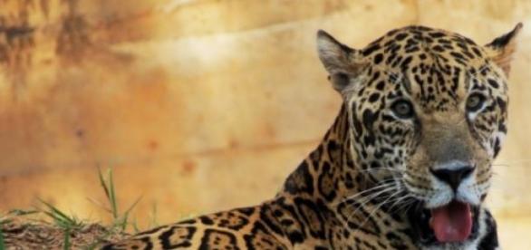 Onça-pintada: Panthera onca