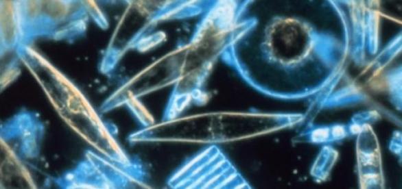 El plancton marino amenazado por la acidez del mar