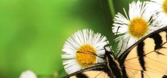 Florile de musetel vindeca pielea iritata.