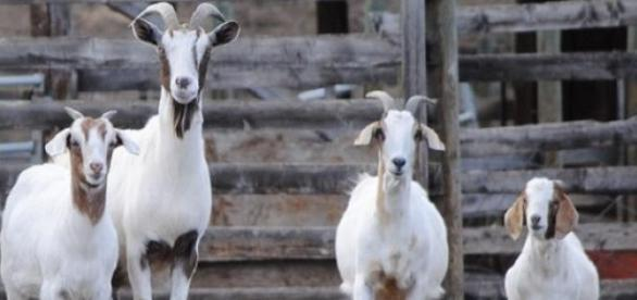'Goats For Votes' was held at the UEA today