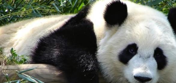 La Chine compte de plus en plus de pandas géants.